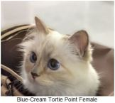 Website kitten example blue tortie
